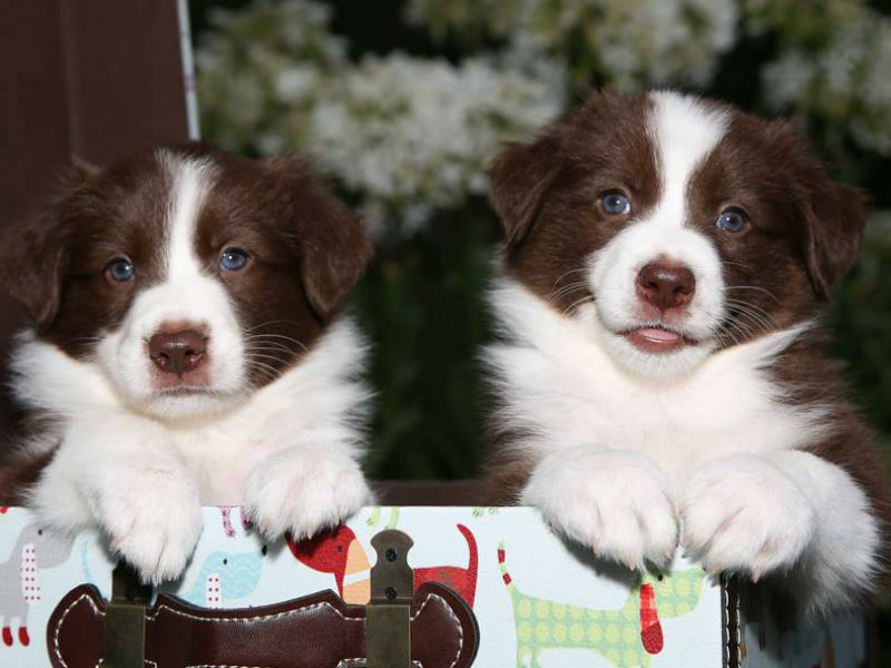 screening puppy buyers header