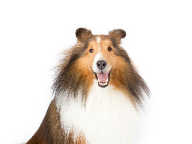Are Shelties Good Dogs