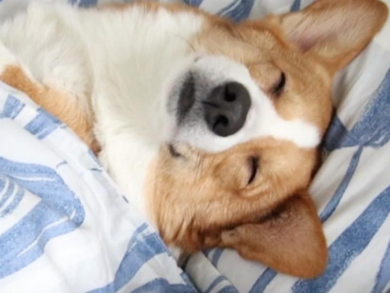 sleeping corgi header