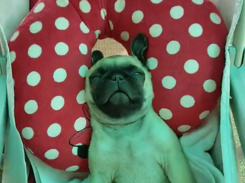 sleepy pug header