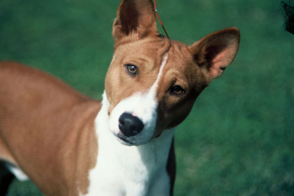 For People Who Love Hounds But Don T Enjoy Their Distinctive Odor And Shedding Habits The Basenji Might Be Perfect Small Dog Breed Sheds