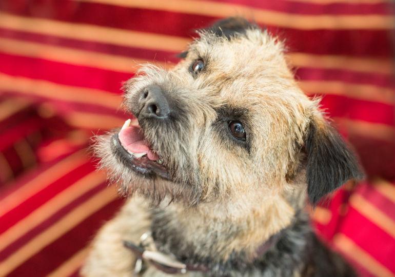 border terrier header