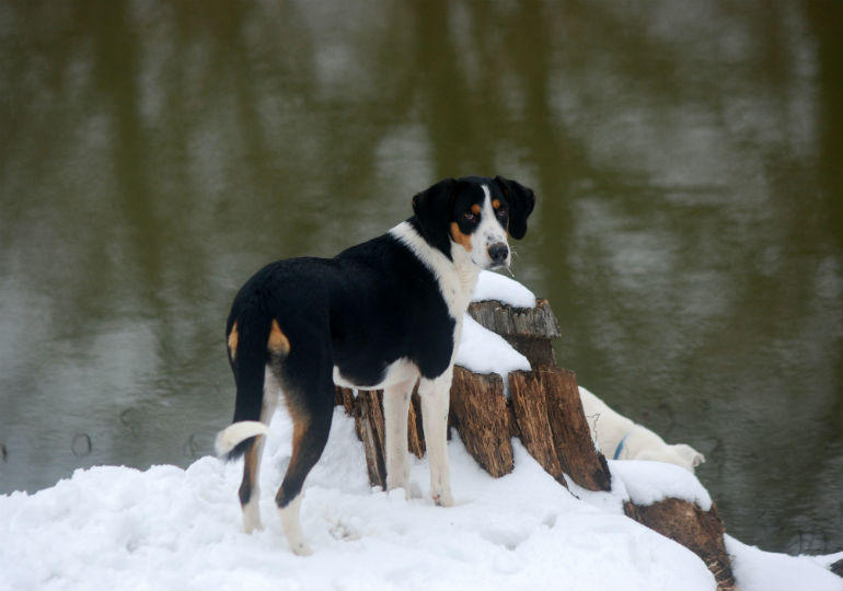 5 Things You Didn't Know About the Treeing Walker Coonhound