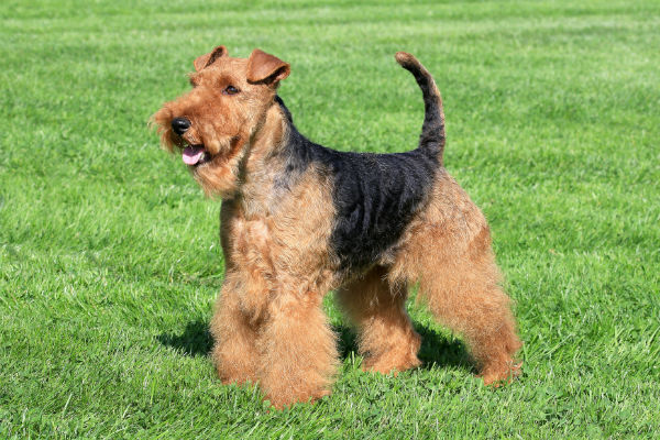 welsh terrier 1