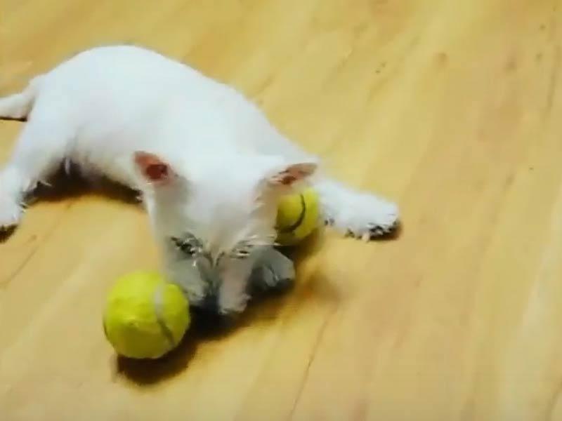 westie tennis balls header