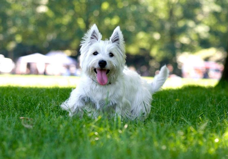 Westie Dog Breed