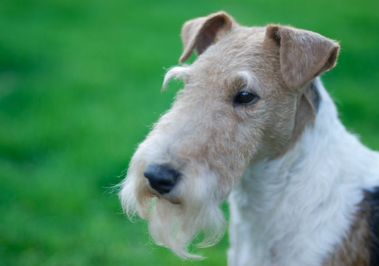 See Why the Wire Fox Terrier Is Mr. Personality – American Kennel Club
