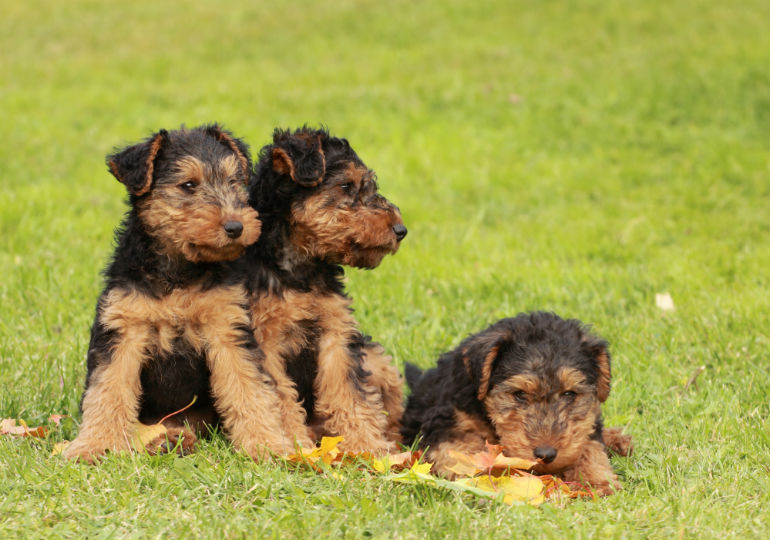 welsh terrier pups header