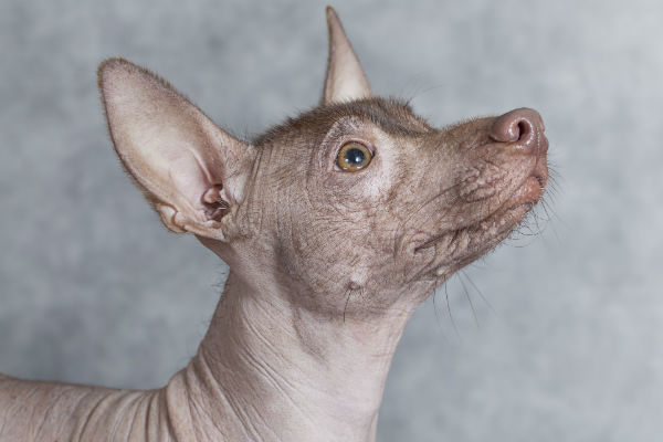 Also Known As The Mexican Hairless Xoloitzcuintli Is An Ancient And Rare Breed Of Dog That Can Be Or Coated Varieties Retain A Small