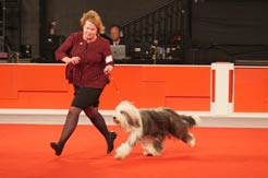 Ellee the Bearded Collie Wins 2017 AKC National Owner-Handled Series Finals