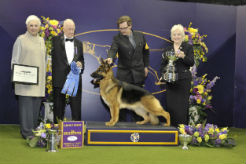 Rumor the German Shepherd Dog Wins 2017 Westminster Best in Show