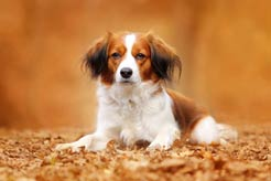 Nederlandse Kooikerhondje: It's Tongue-Twisting to Pronounce But Will Make a Big Statement