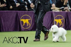Introducing AKC Live on AKC.TV!