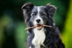 Recognizing Behavioral Changes in Senior Dogs - thumbnail