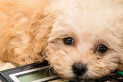 Tax Tips For Dog Breeders - thumbnail