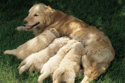 Study: Puppies With Clingy Mothers More Likely to Fail Guide-Dog Training