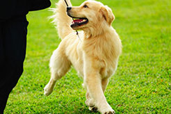 Five Quick Tips for Leash Training Your Puppy or Dog - thumbnail