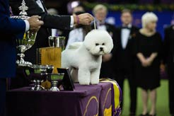 Meet Flynn, the 142nd Westminster Best in Show Winner