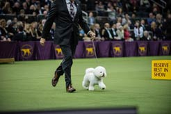 18 Pictures of Flynn, Westminster 2018 Best in Show Winner