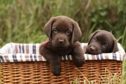 The Labrador Retriever is Chicago's #1 Dog - American …