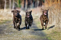 Labrador Retriever is #1 Once Again in Seattle - American …