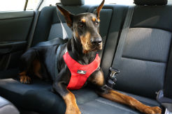 ​Dog Road-Trip Safety Tips for a Fun and Safe Car Trip With Your Dog - thumbnail