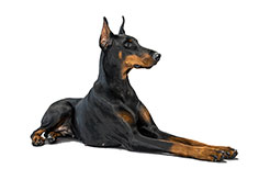 The Doberman Breeder: An Endangered Species? - thumbnail