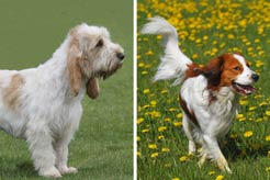 Meet the Two Newest AKC-Recognized Breeds: Nederlandse Kooikerhondje & Grand Basset Griffon Vendeen