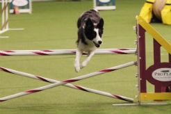 Trick the Border Collie Wins 4th Westminster Masters Agility Championship