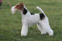 Quiz: Has This Breed Won Best in Show at Westminster? - thumbnail