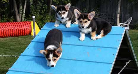 corgi puppies doing agility