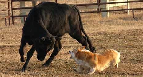 corgi herding bull