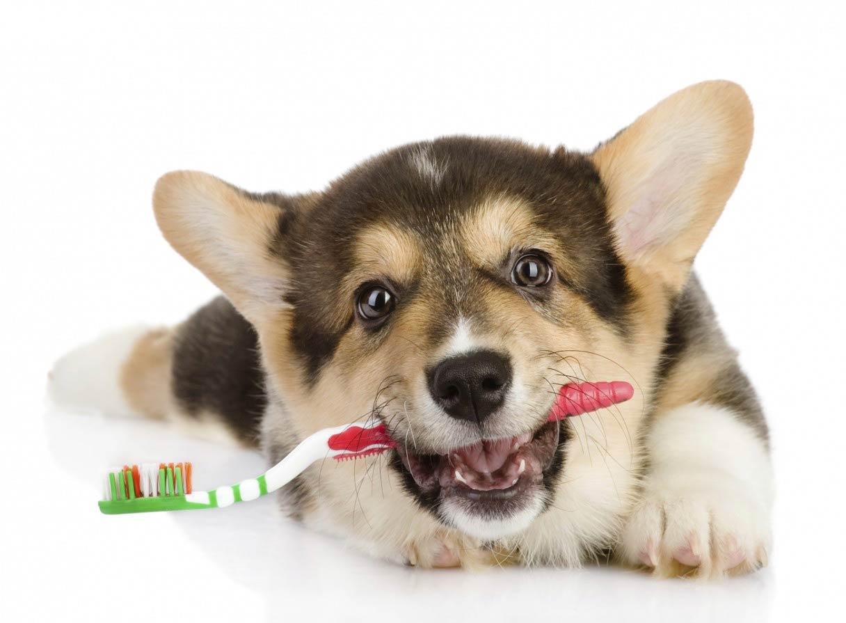 12 Steps To Dazzling Dog Teeth American Kennel Club