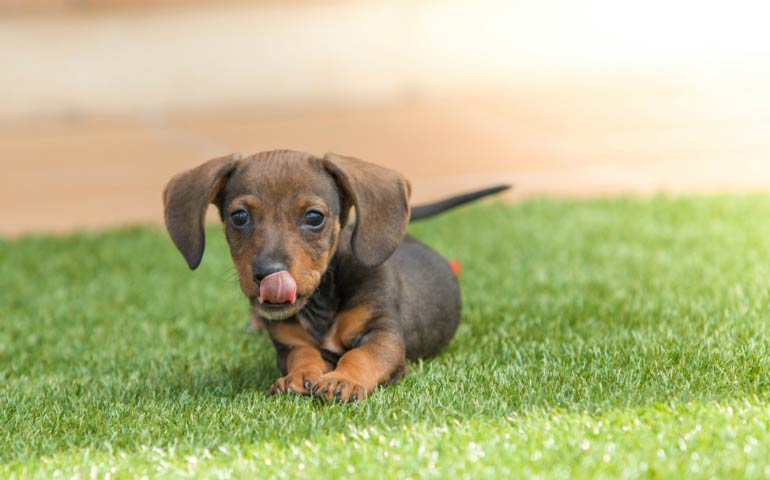 5 reasons why dachshunds are so lovable american kennel club