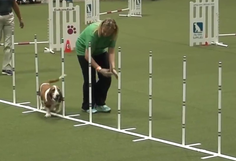 Diesel the Basset Hound Competes in Agility