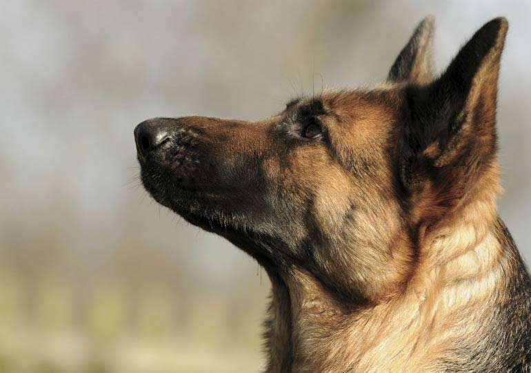 Heroic German Shepherd Saves British Special Forces From Isis Attack