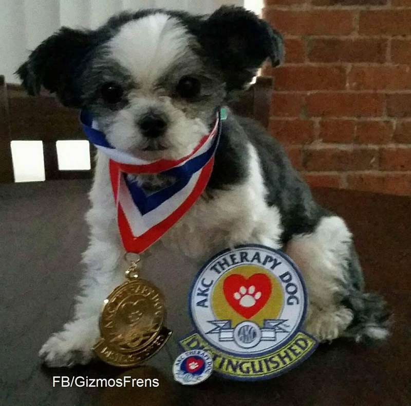 Meet Gizmo The Wonderdoglet Therapy Dog Extraordinaire
