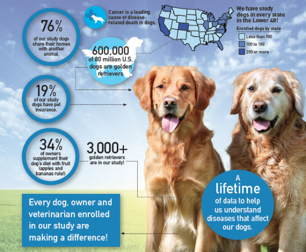 Golden Retriever study infographic