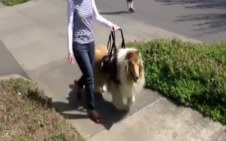 guide dog collie