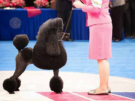 Poodle at show