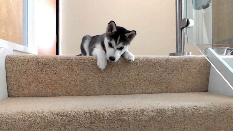 Husky puppy taking the stairs