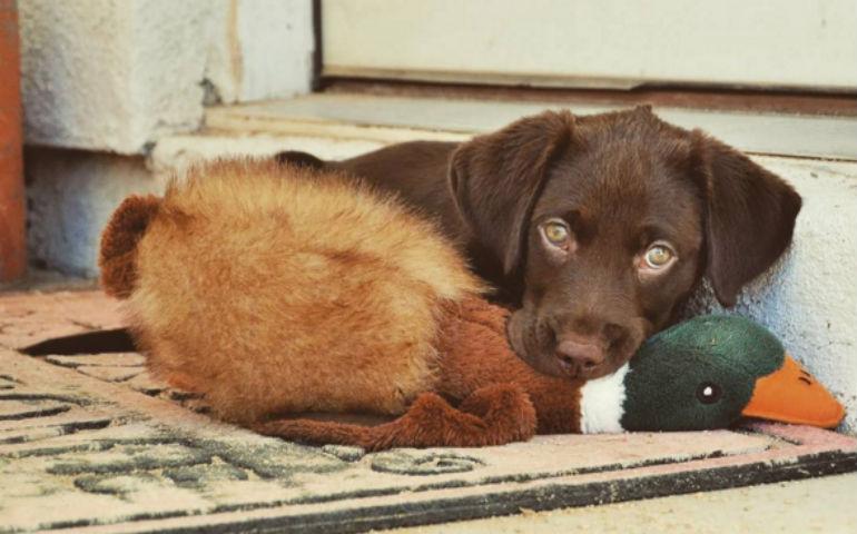 22 Photos Of Labrador Retriever Puppies To Brighten Your