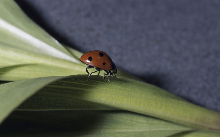 Should I Worry About My Dog Eating Ladybugs?