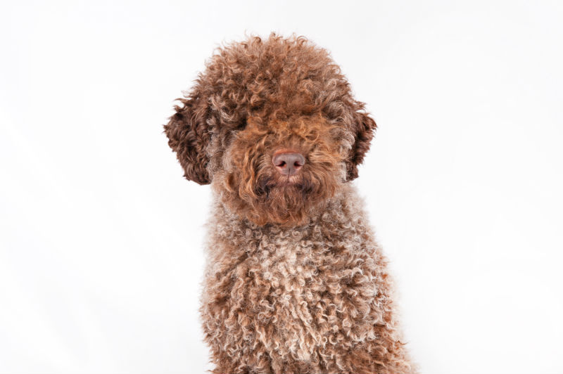 Lagotto 140th Westminster Kennel Club dog show