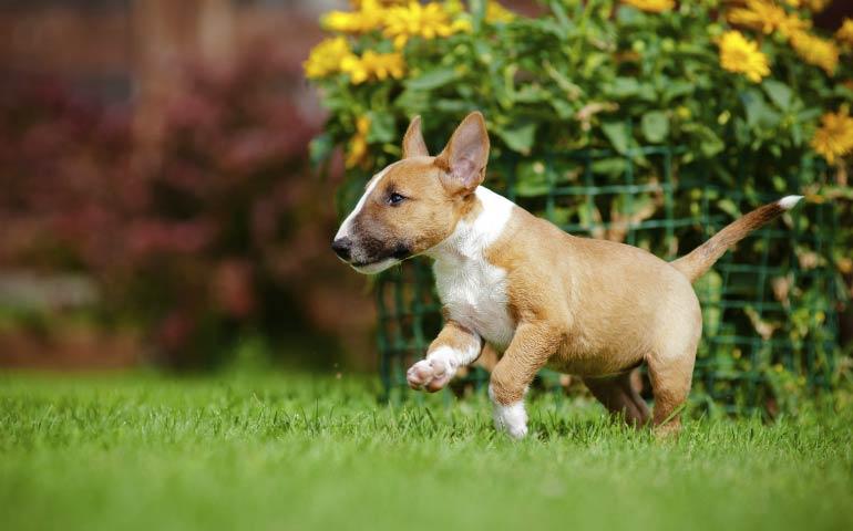 Reasons Why The Miniature Bull Terrier Wins 'Class Clown' - American ...