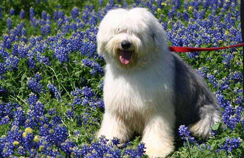 Fluffy Dog Breeds American Kennel Club