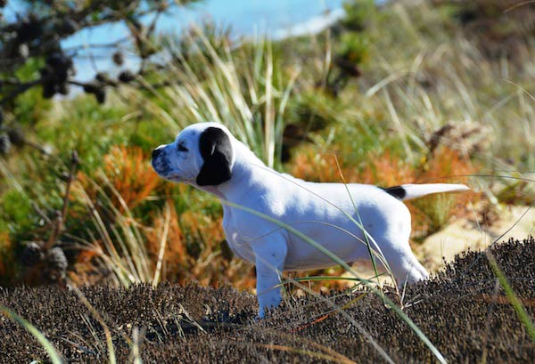 pointer pup pointing