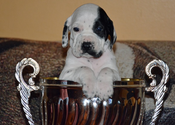 pointer pup trophy
