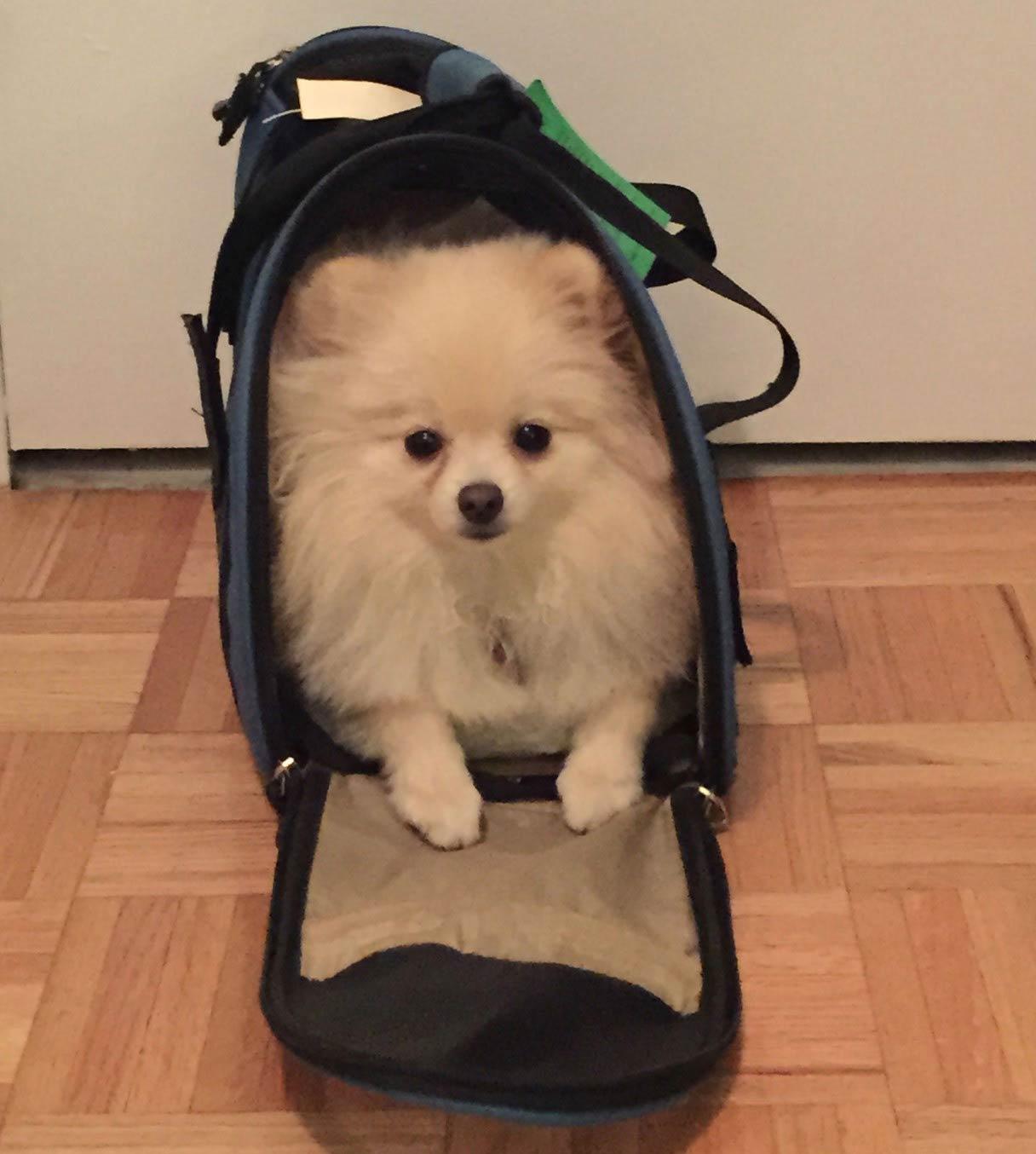 pomeranian in dog carrier