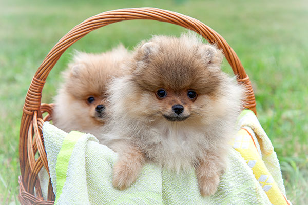 6 Reasons Why Pomeranians Are Totally Unforgettable